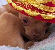 Chihuahua Small Breed Dog