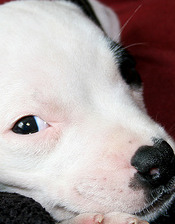 Staffordshire Bull Terrier Small Breed Dog