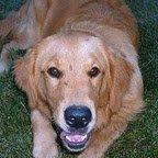 Large Breed Dog Gold Lab